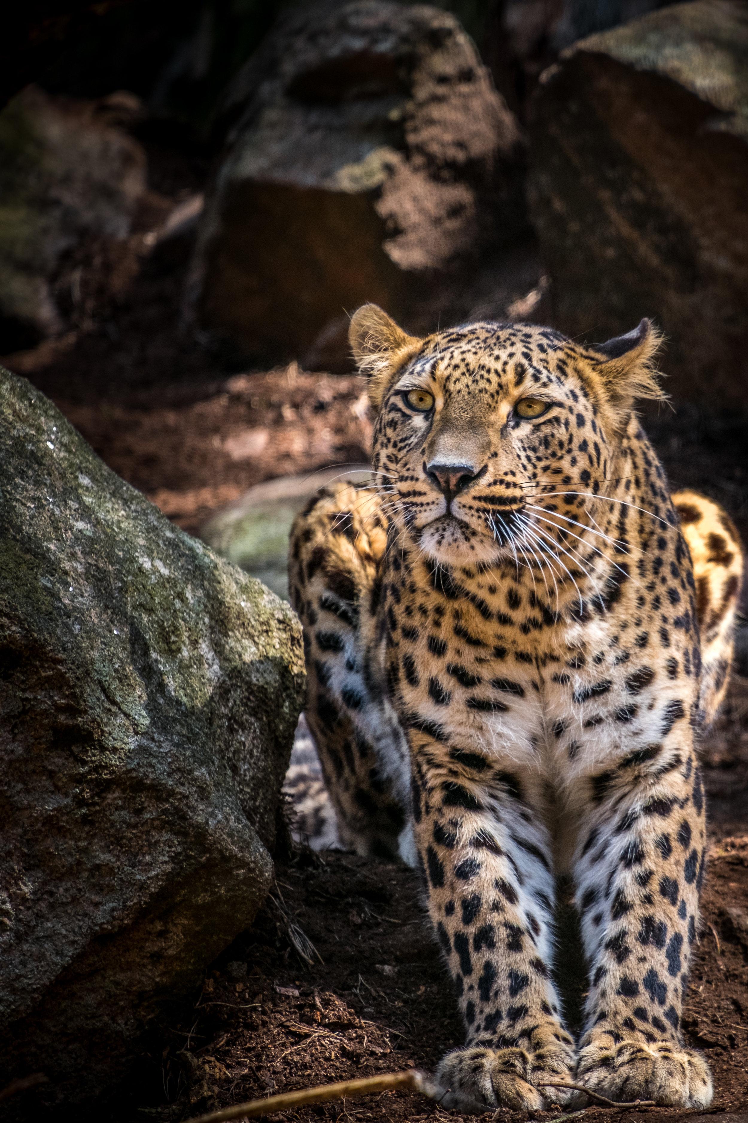 Persisk leopard.