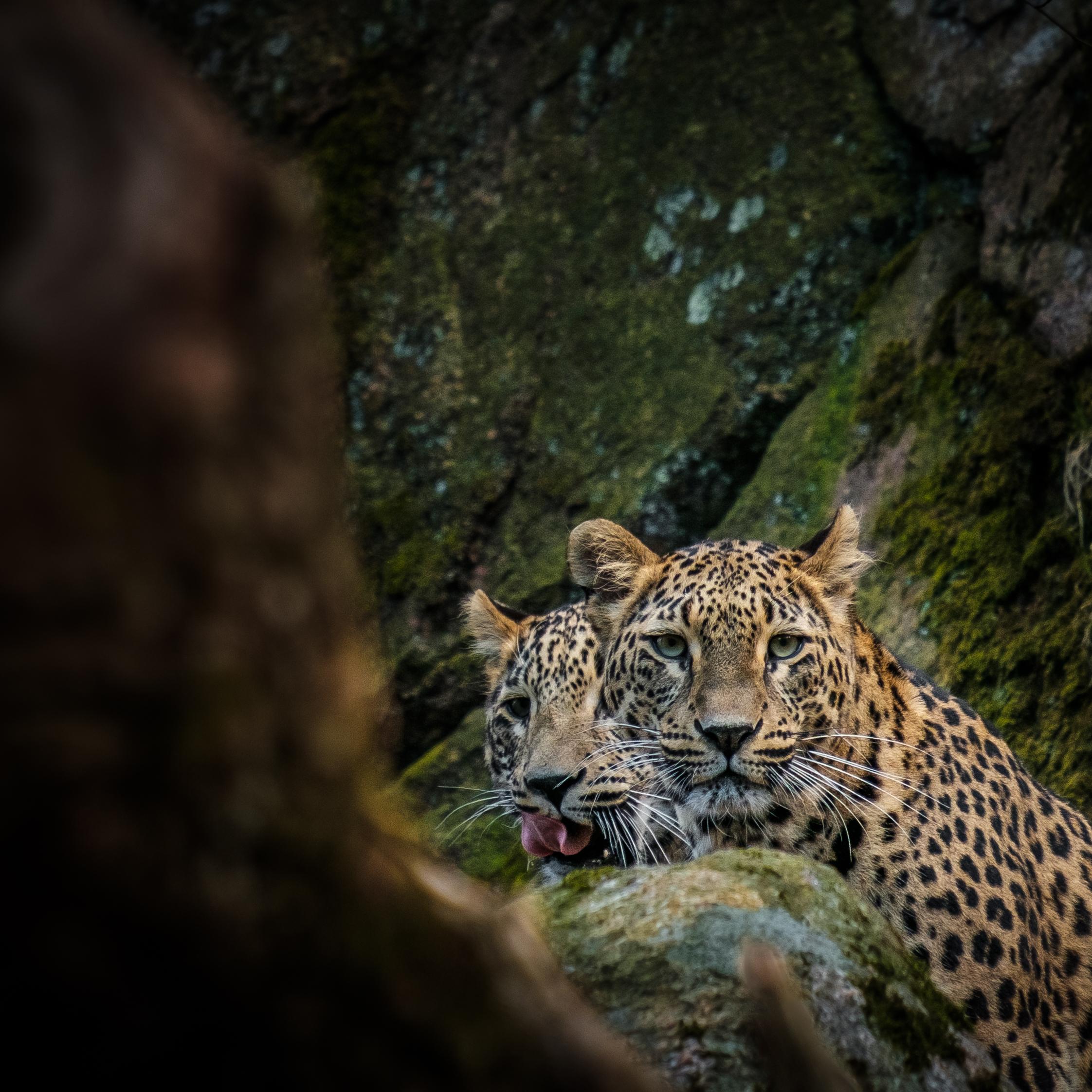 Fler leoparder.