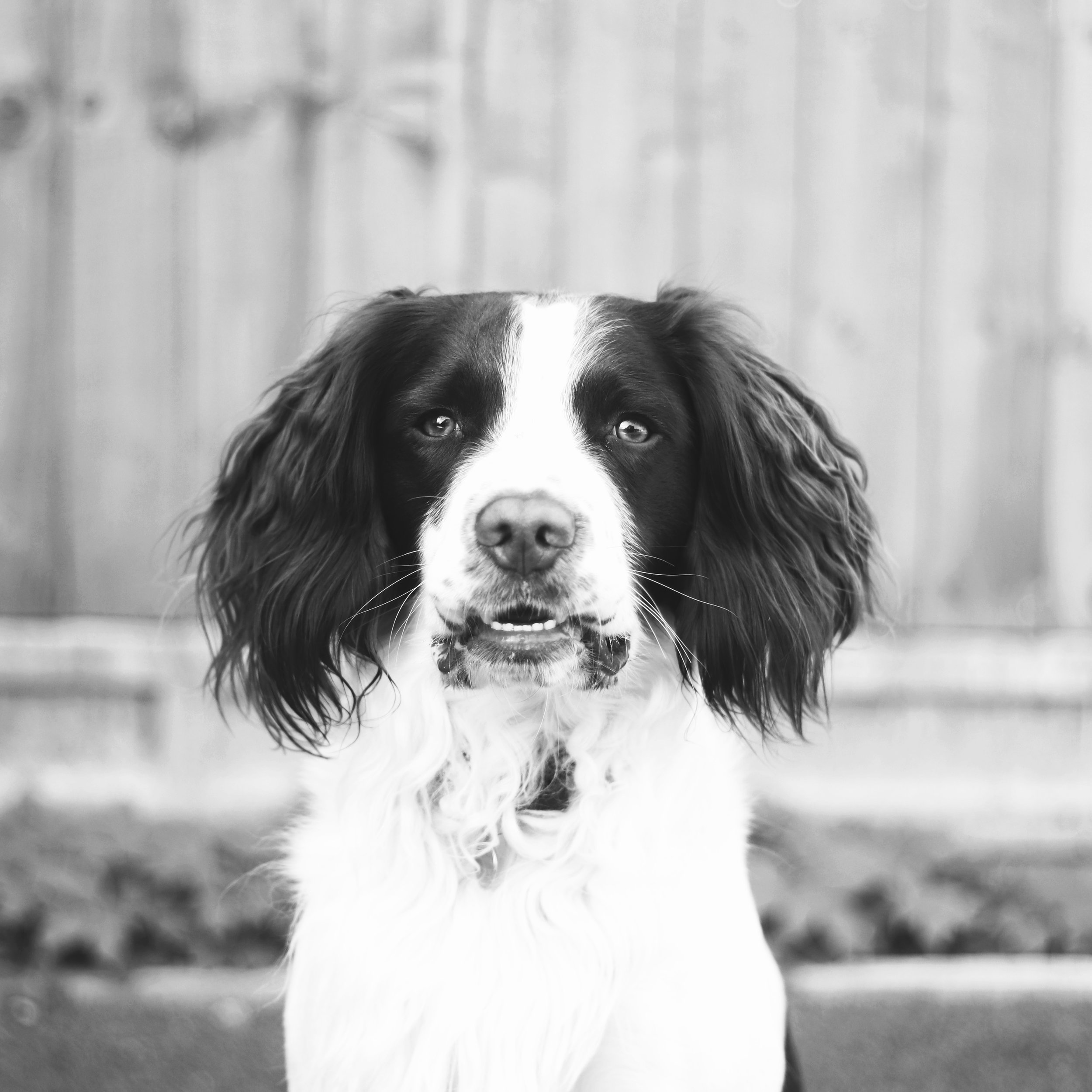 Monty - And not forgetting the four-legged team member of the Charm-ed squad: Monty the Springer Spaniel. If he's not snoozing or munching on cucumber, you'll find him frollicking in the office garden. Oh, and if you hear a strange noise during a conference call, it's probably Monts.