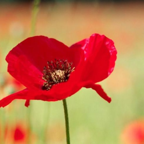 """""""They shall grow not old, as we that are left grow old: Age shall not weary them, nor the years condemn. / At the going down of the sun and in the morning, We will remember them"""" #rememberance #courage #poppy 😀#poppyappeal"""