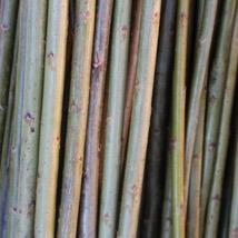 """Klon 183  Salix Viminalis """"Aquantica gigantea""""    Den største pilen på åkeren, velegnet til levende flett i hytter, huler og til gjerder. Store flotte pollenbærere, velegnet i bigårder.   Klon 183 kan kjøpes som:   - Stikling -Levende pil"""