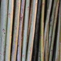 """Klon 183  Salix Viminalis """"Aquantica gigantea""""    Den største pilen på åkeren, velegnet til levende flett i hytter, huler og til gjerder. Store flotte pollenbærere, velegnet i bigårder.   Klon 183 kan kjøpes som:   - Stikling - Levende pil"""