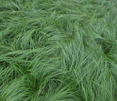 Carex Sedge Grass