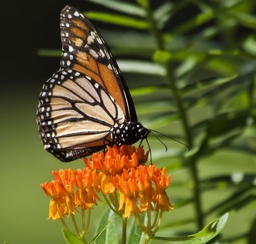 Butterfly Weed/Aesclepias