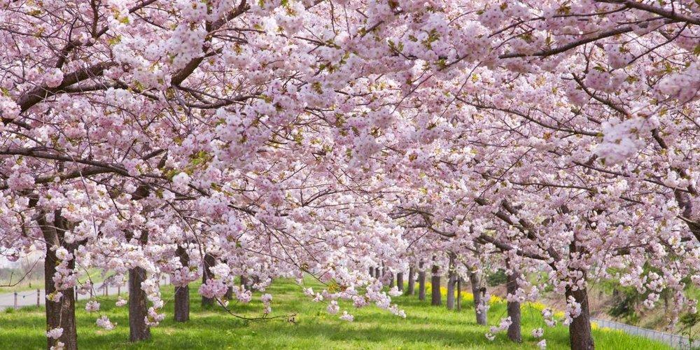 CHERRY TREES IN FULL EFFECT