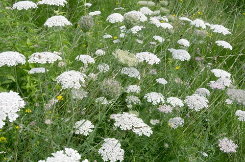 Queen Anne's Lace -