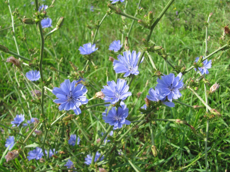 Chicory -