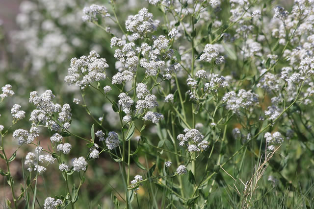 Pepperweed -