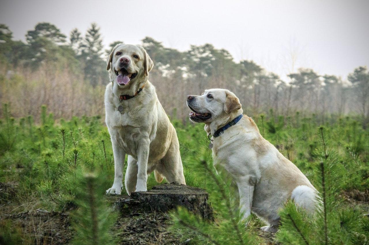 labrador-breed-dogs-animal.jpg