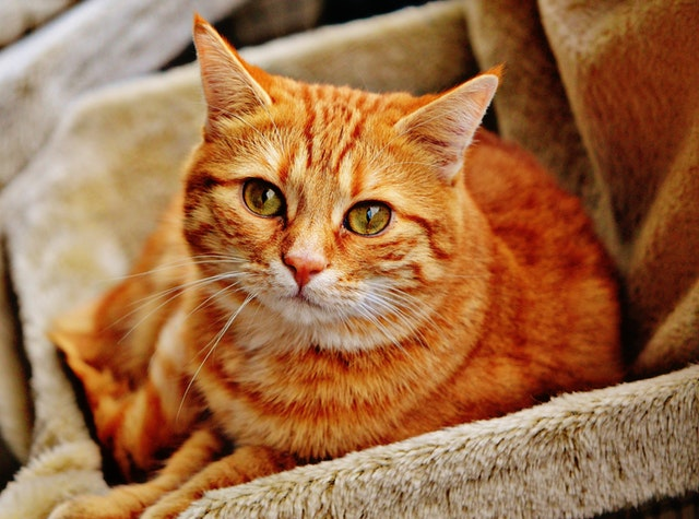 cat-red-cute-mackerel.jpg