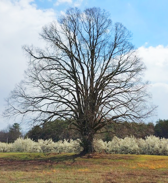 """Tree of Life"" (Rev. 2:7) Photo by T.Benson"