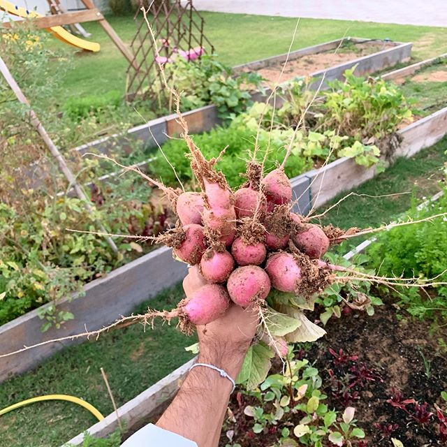 It's time to pull the radishes!  So we are well past the 50 day mark for the radishes and it's time to get most of these out the ground. I've been super happy learning from the radish. Straight forward sprouting and a short enough grow time to appreciate the steps you need to take to go from seed to Harvest.  They taste great with the coriander growing next to them, chopped with a little lemon and olive oil and salt. Peppery, crisp and fresh! I can't have gotten these into the ground without my garden buddies @gohannessian and @alescagrow and they need to swing by and swag the fruits of the labour!
