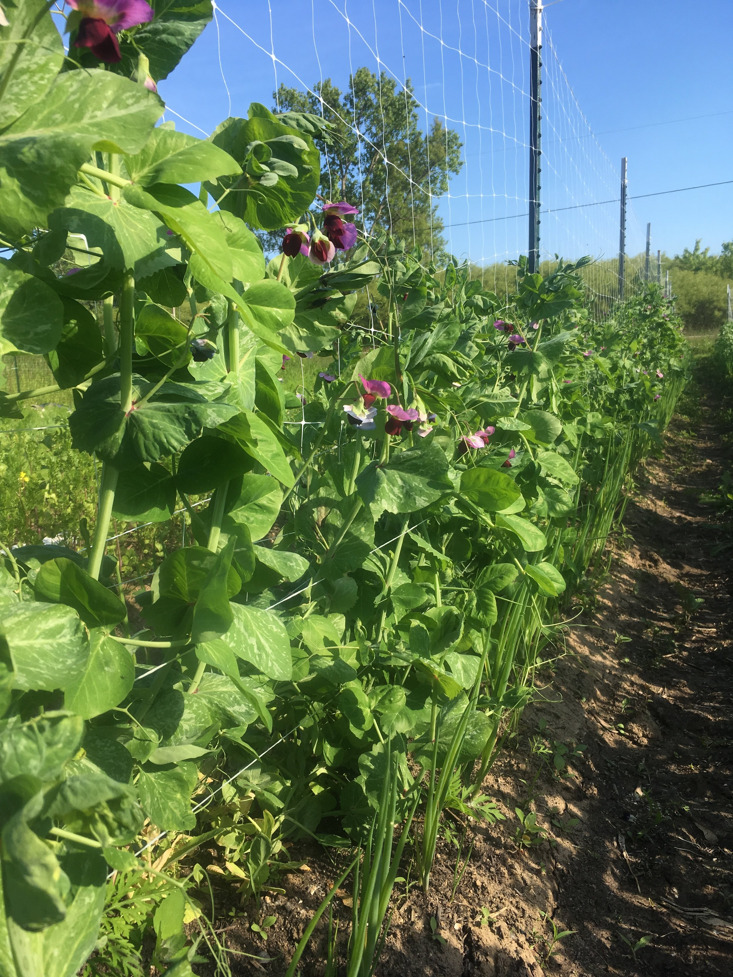 Flowering peas, with spring onions planted alongside