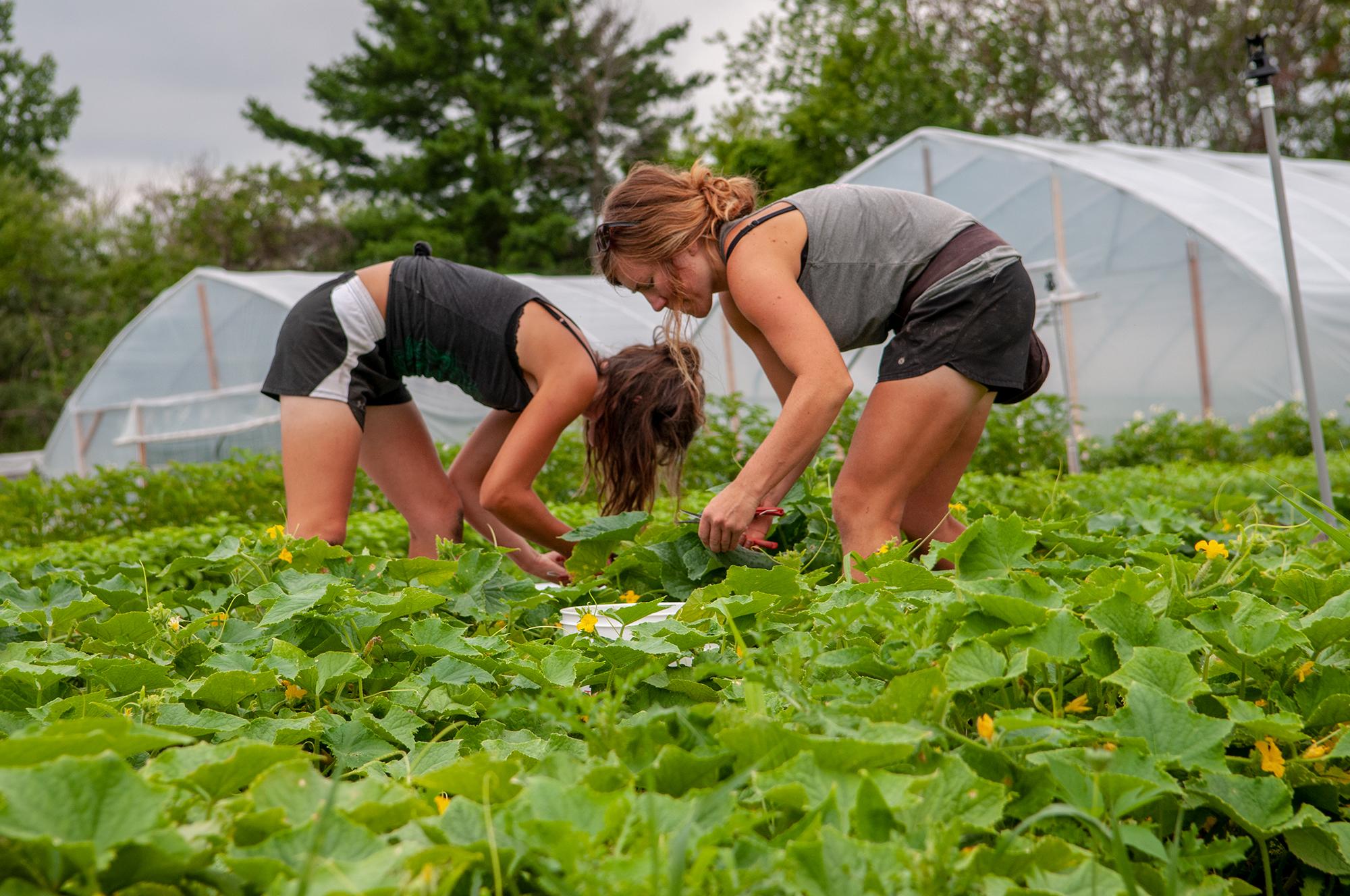 Ali and Sara harvesting cucumbers. (Photo: Courtney Lancour)
