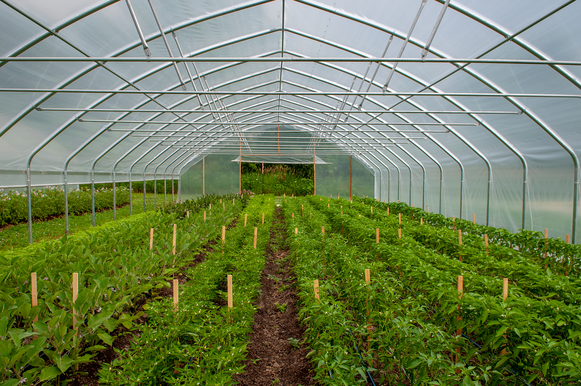 Peppers and Eggplants in our high tunnel. (Photo: Courtney Lancour)