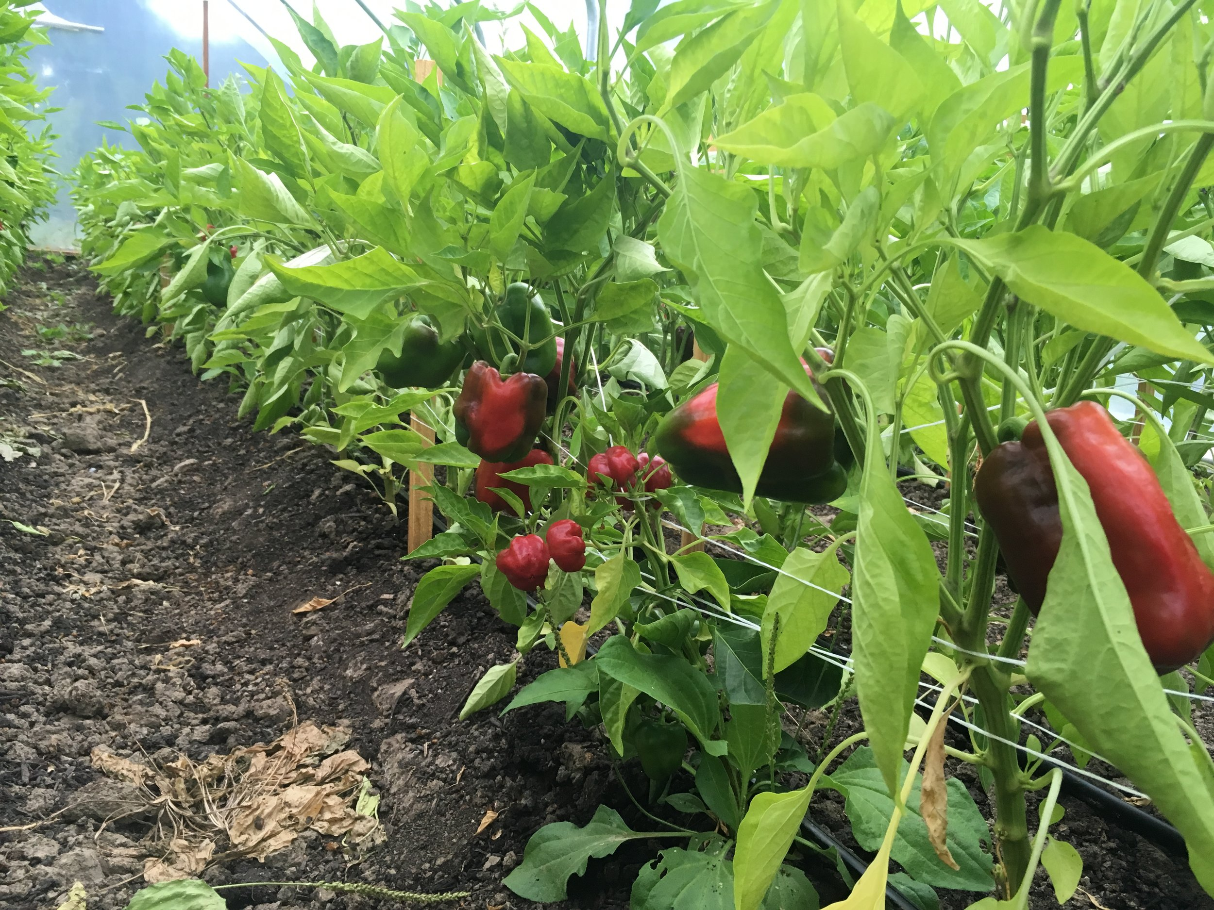 Peppers ripening in the high tunnel.