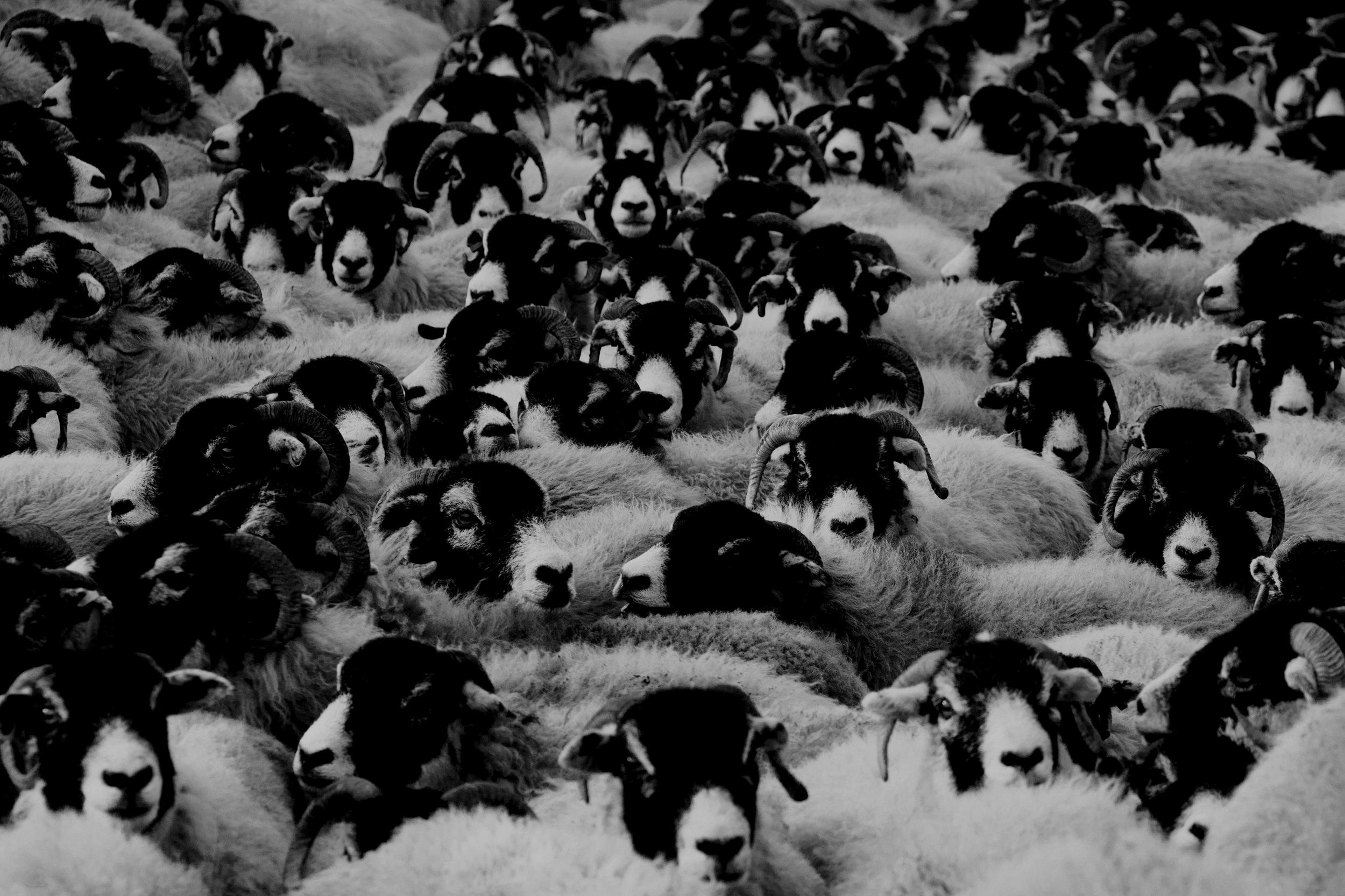 Sheepfest 2019 -
