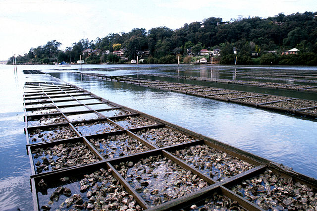 Oyster aquaculture farm.