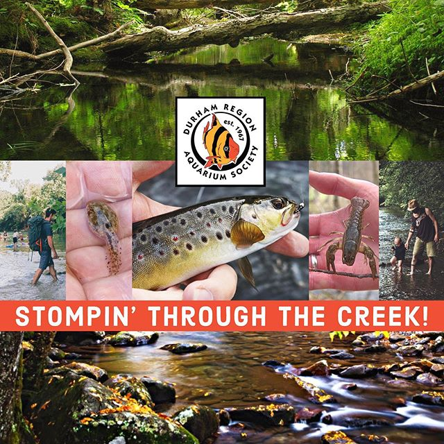 Stompin' Through The Creek! Sunday, July 28, 2019  We'll be stomping through local waterways and seeing what we can find!  In years past we've seen sticklebacks, darters (at least three species), a few species of crayfish, stone rollers, sunfish, trout fingerlings, frogs, tadpoles, lots of insects and even some interesting aquatic plants... After we finish, we'll stop for some drinks and snacks.  Pool available if you want to cool off.  NOTE: This event is only open to paid-up DRAS members, or paid-up members of any other CAOAC aquarium club or society.  #dras #durhamregionaquariumsociety #durhamregion #aquatic #society #communities #clubs #gta #canada #ontario #creek #exploringnature #localexploration