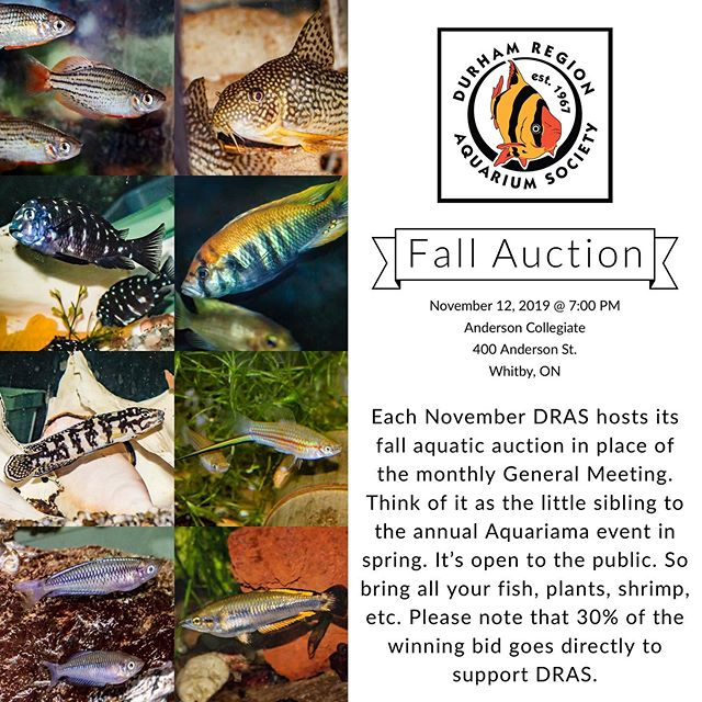 DRAS FALL AUCTION  November 12, 2019 @ 7 PM  Each November DRAS hosts its fall aquatic auction in place of the monthly General Meeting. Think of it as the little sibling to the annual Aquariama event in spring. It's open to the public. So bring all your fish, plants, shrimp, etc. Please note that 30% of the winning bid goes directly to support DRAS.  #dras #durhamregionaquariumsociety #aquarium #aquatic #community #clubs #auction #durhamregion #gta #ontario #canada