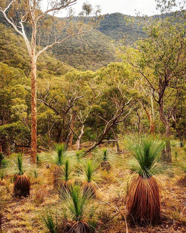 Some of our native botanicals include.. • Kunzia • Blue Eucalyptus • Kakadu Plum • Australian Desert Lime • Lemon Tea-tree Choose YOU! Choose Certified Organic. #Organic #Vegan #PlantBased #AllNatural #CertifiedOrganic #SustainableSkinCare #family #nature #kunzia #chooseyou #sabaorganics #botanicals 📸 @rich.pixel