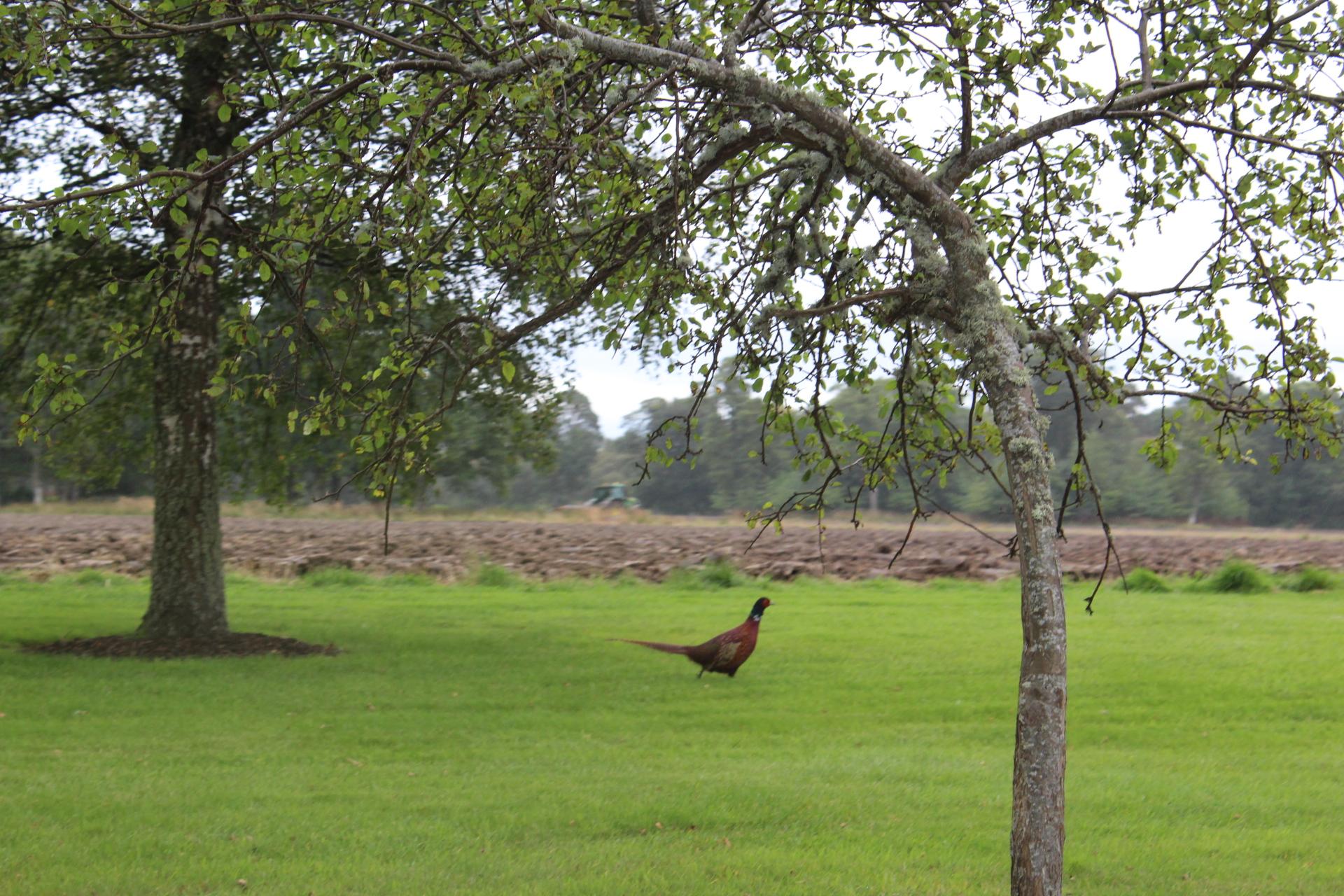 Pheasant sightings