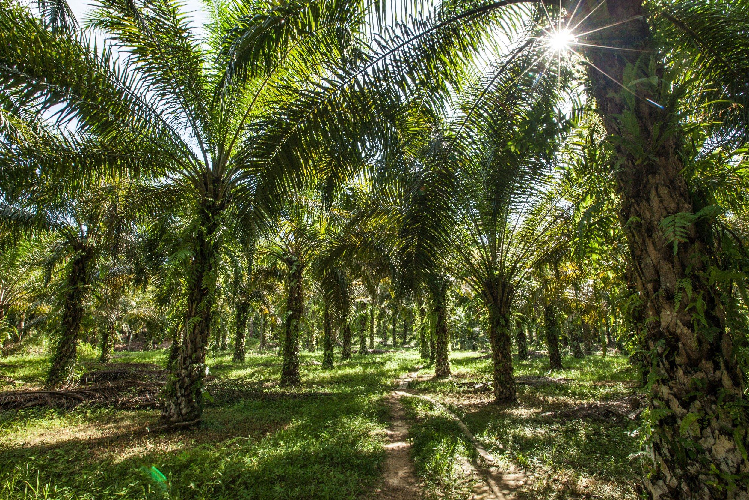 plantation2_by_mazidi_ghani__wwf_malaysia_.jpg