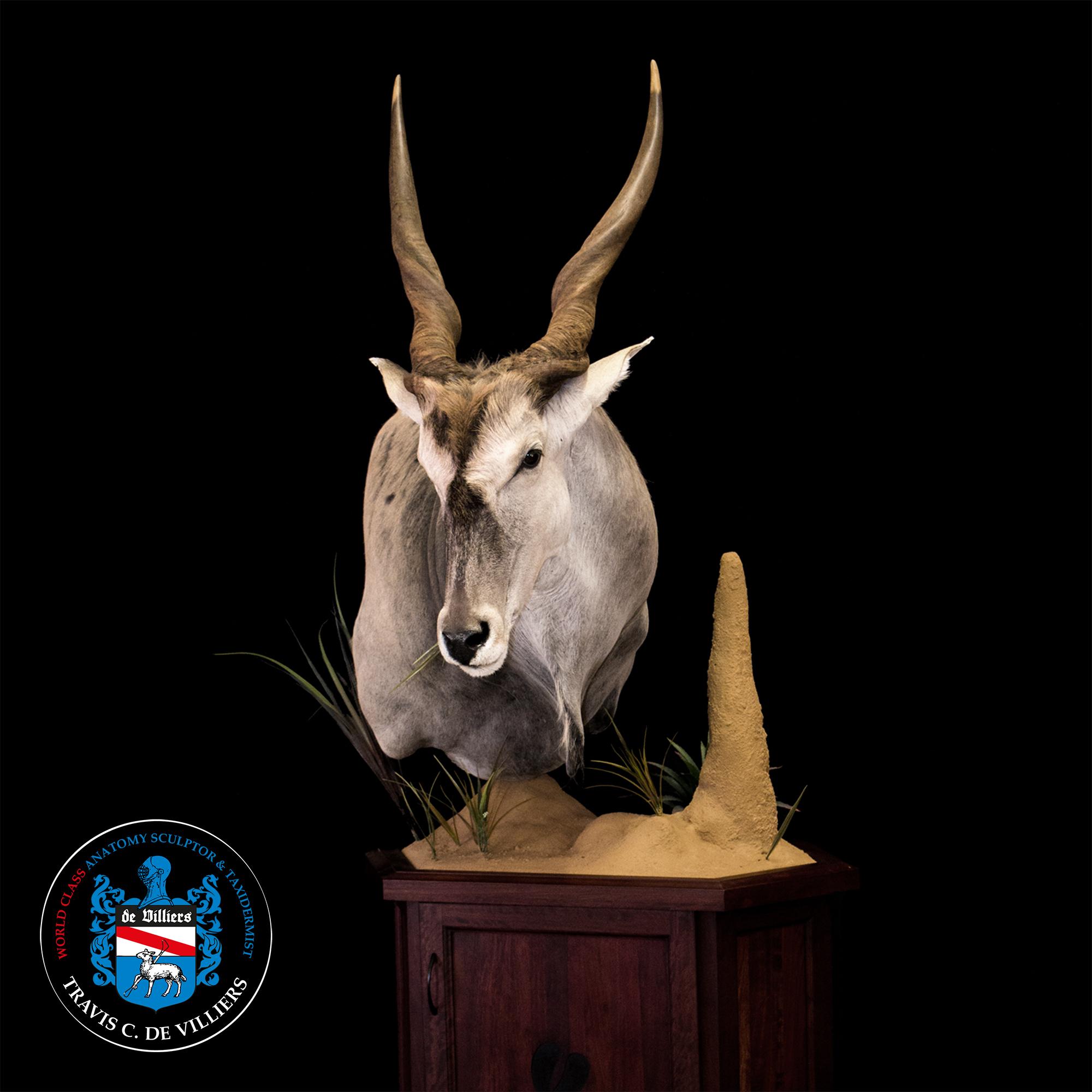 Cape Eland - Taurotragus oryx