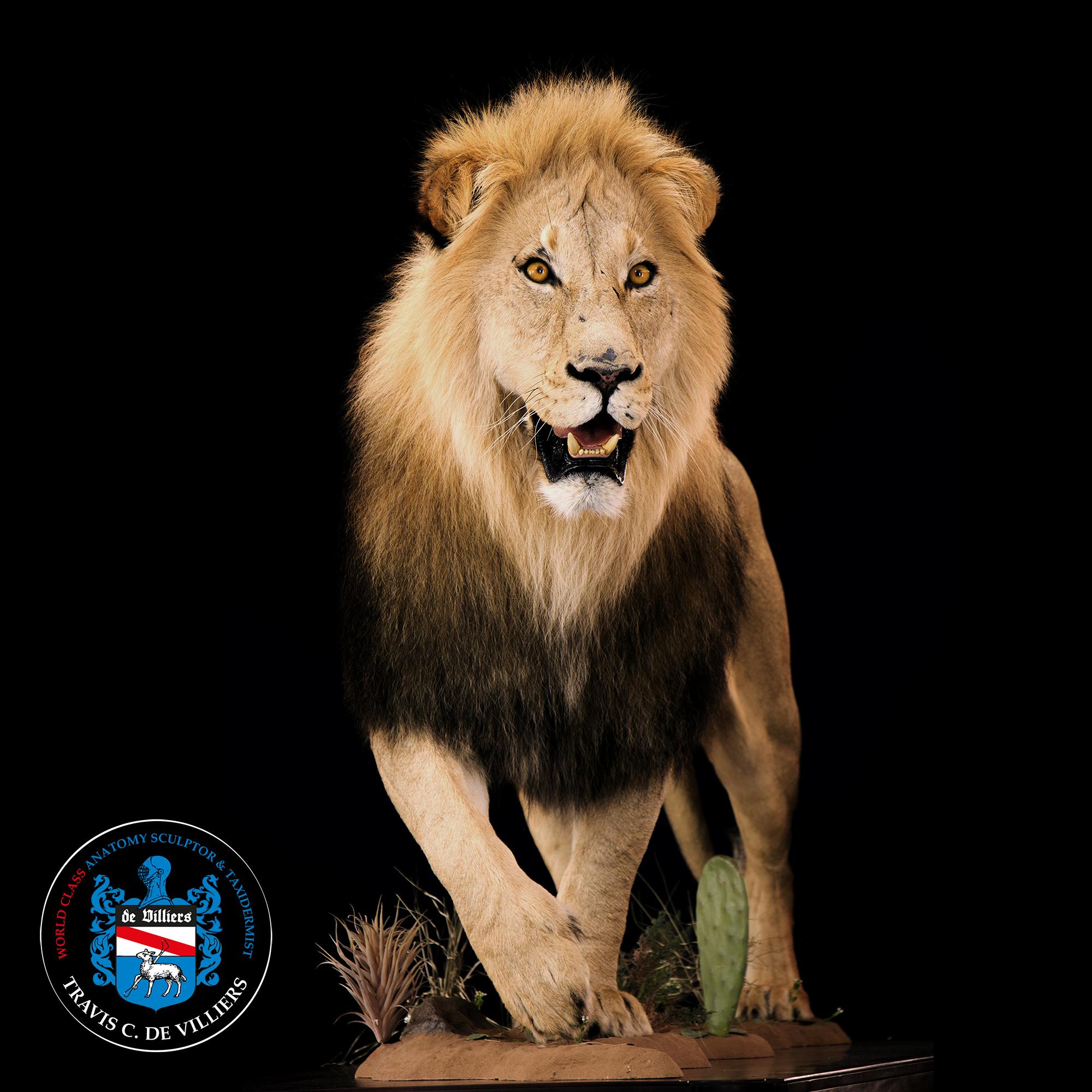 Male Lion - Panthera leo