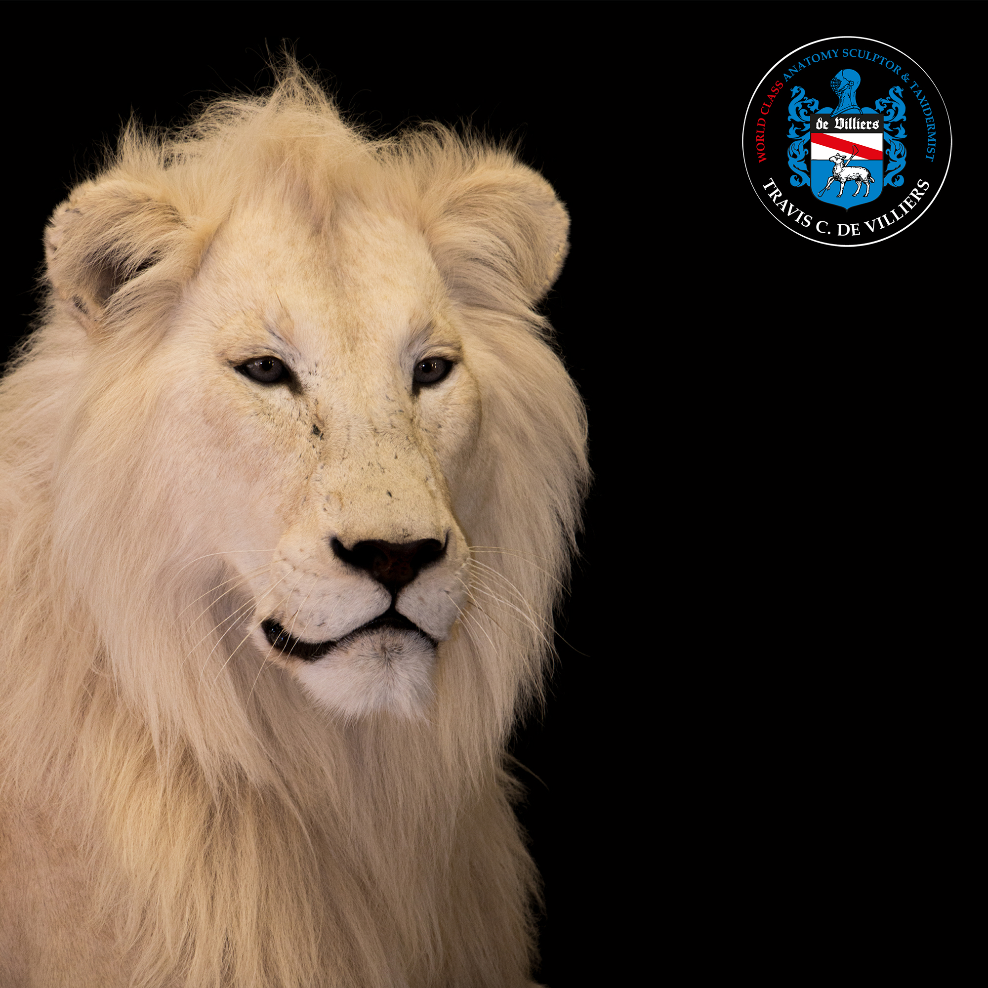 Male White Lion - Panthera leo melanochaita