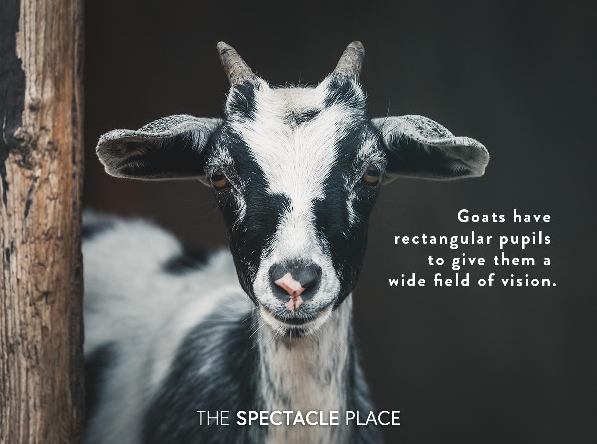 funfact_goat