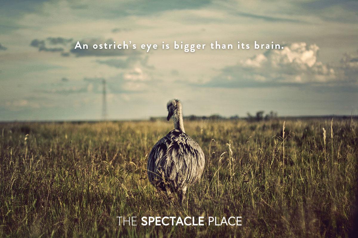 funfact_ostrich.jpg