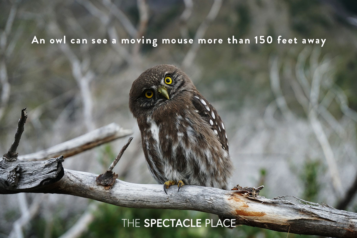 funfact_owl.jpg