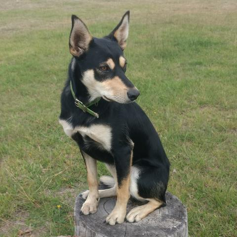TRACKER COSMO  DOB 18/1/17, MALE STARTED, $1500