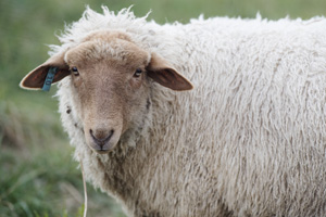 About Tunis Sheep — Foxdale Springs Farm