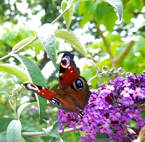 peacockbutterfly for website.jpg