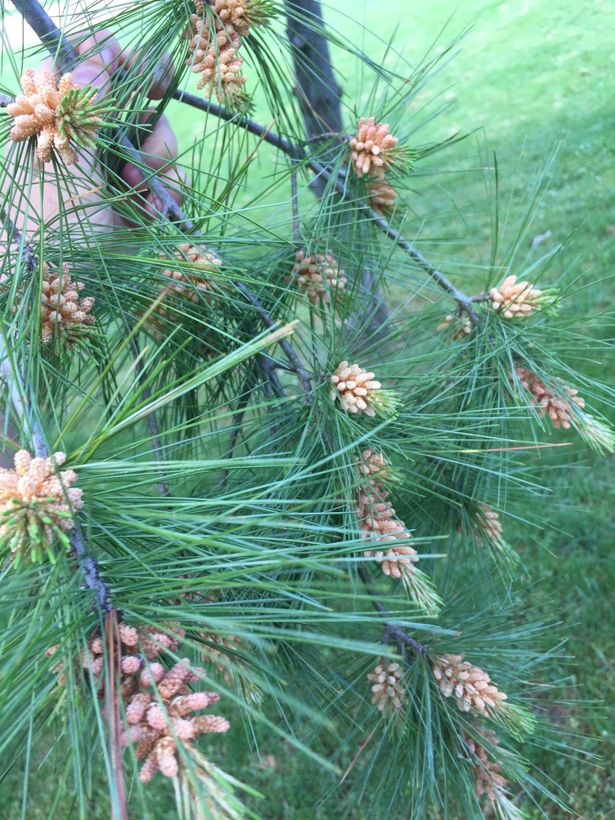 Pine pollen cones from my most recent harvest.