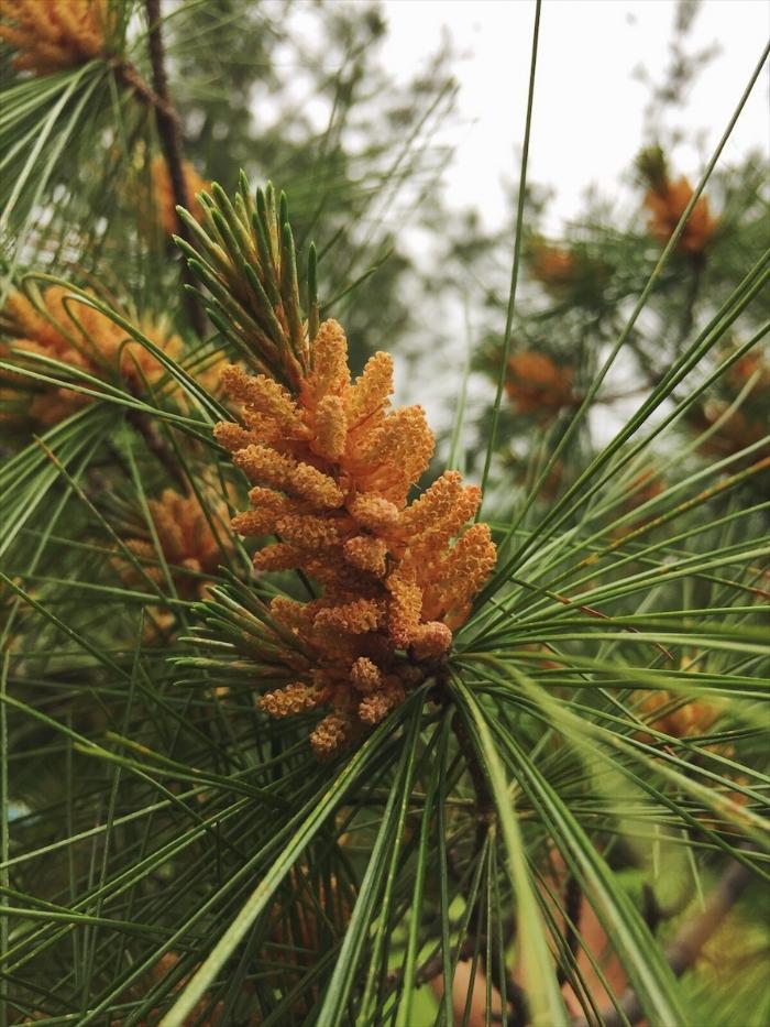 White Eastern Pine tree in my neighborhood, in Ontario, Canada.