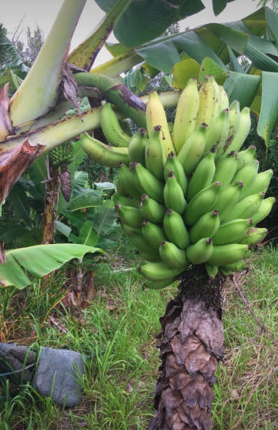 Organic bananas growing on the farm.