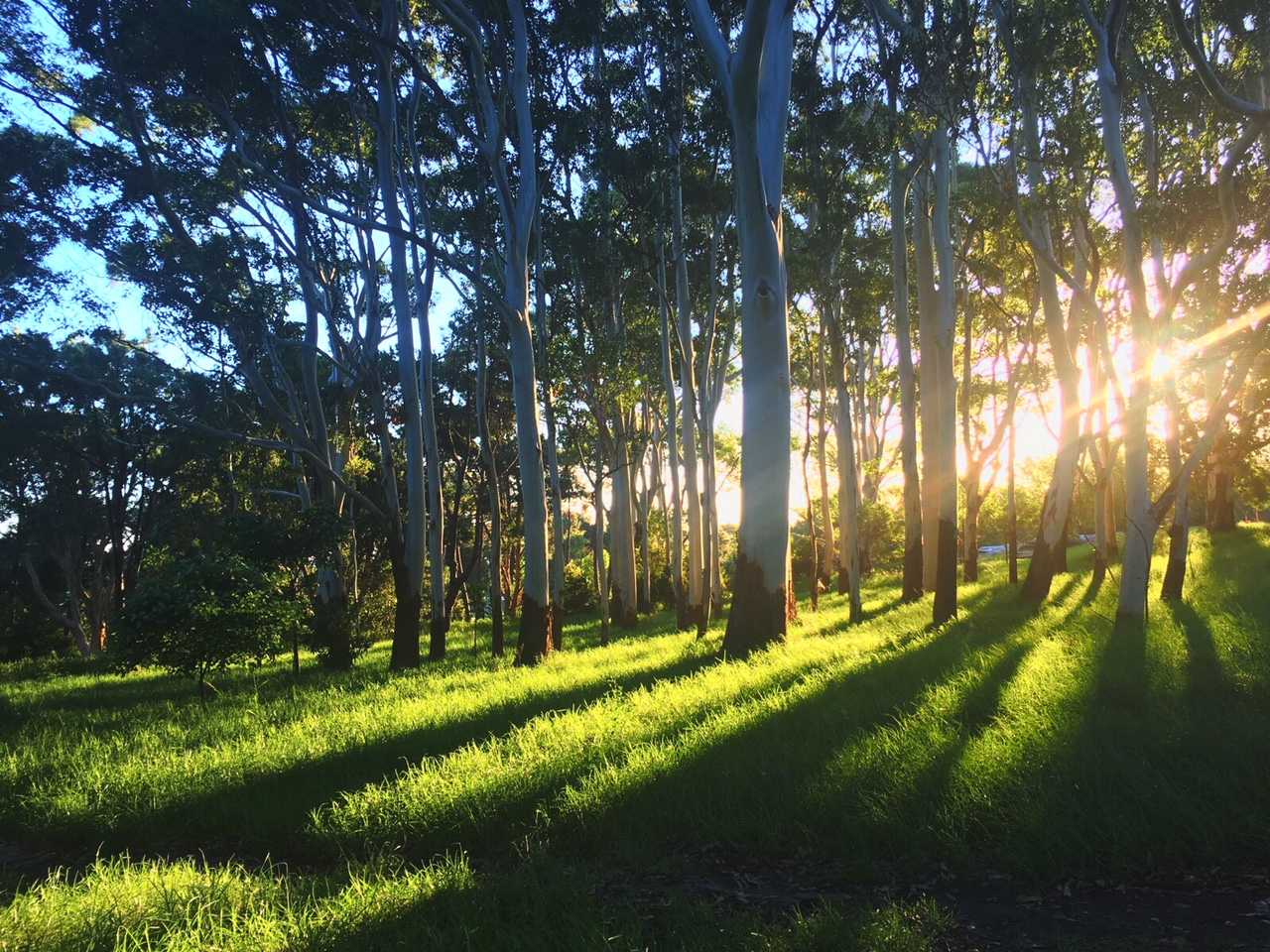 Sun shining through the gumtrees, in Centennial Park, Sydney Australia.