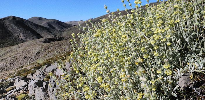 Malotira growing in the White Mountains of Crete.