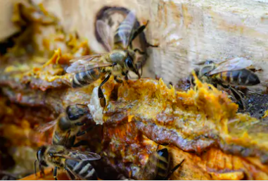 Propolis in the hive.  (Image: Shutterstock)
