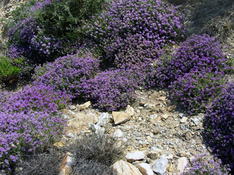 Wild thyme flowers, on Crete.
