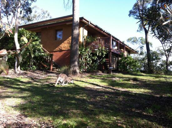 Kangaroos roaming at the Dhamma Bhumi center in NSW, Australia.