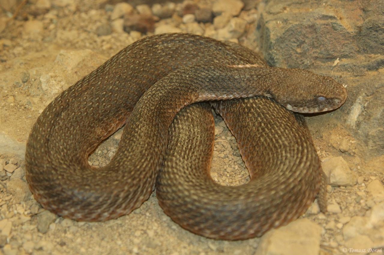 The Milos Viper (Image:  Tomek )