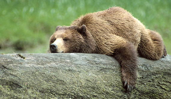 Grizzly bears can fast for up to 100 days without food and water. Although the mechanism hasn't been deeply explored yet in humans, it's well understood in animals.