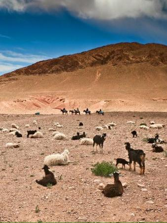 Wild goats galore in the Atlas mountain range.