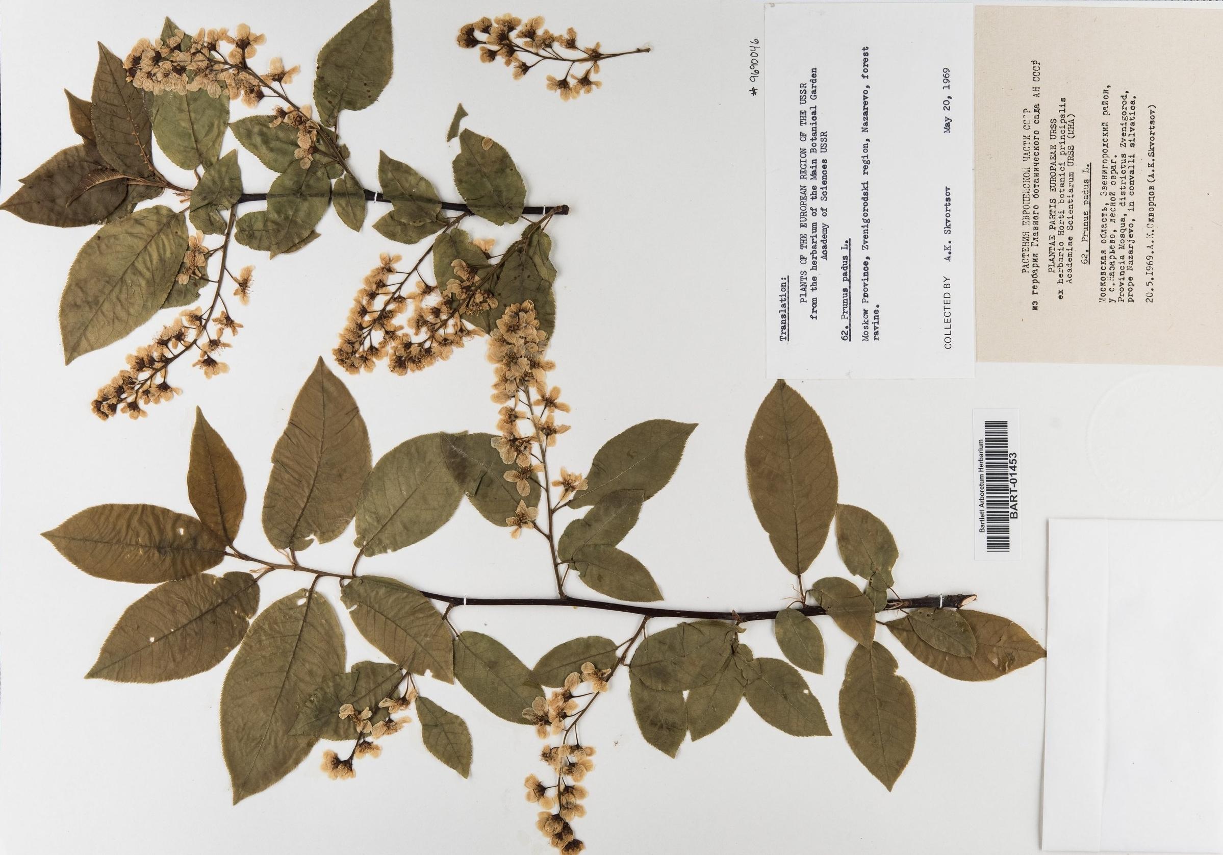 Prunus_padus2 copy 2.jpg