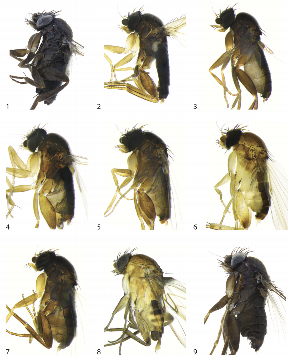 Nine of the 30 new species of phorid flies discovered by Emily Hartop and colleagues in Los Angeles, photo reproduced from: Hartop EA, Brown BV, Disney RH. Opportunity in our ignorance: urban biodiversity study reveals 30 new species and one new Nearctic record for Megaselia (Diptera: Phoridae) in Los Angeles (California, USA).  Zootaxa , 2015; 3941(4)