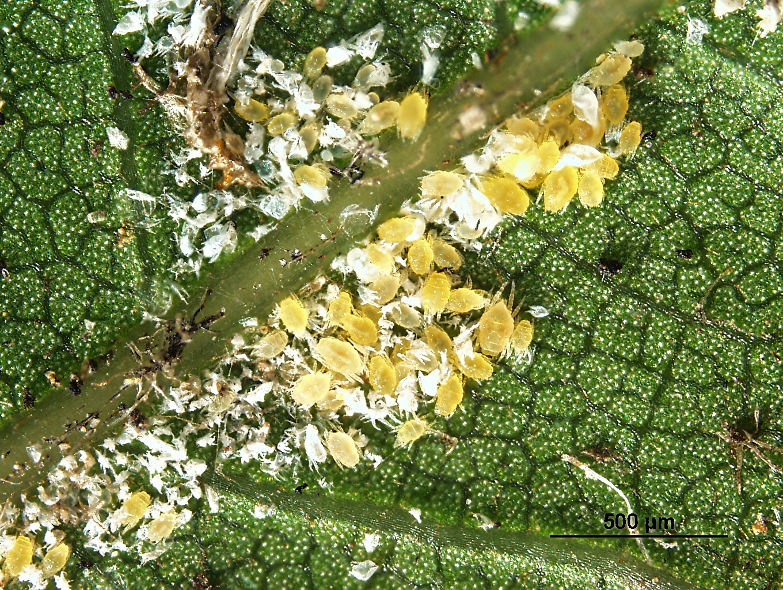Spider mites on an urban willow oak tree